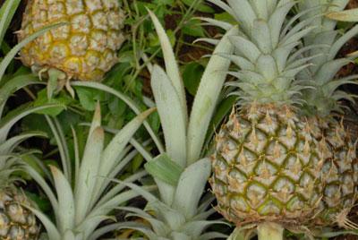 """Werden Ananas-Abfälle zu """"Leder"""" verarbeitet, ergibt sich nun eine zusätzliche Einnahmequelle für die Bauern."""
